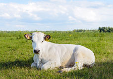 Ruminating white cow lying in the grass Stock Photos