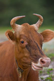 Rumination cow Royalty Free Stock Photography