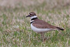 A Killdeer Struts Across Lawn. A rummaging killdeer stops to check if it has startled up an insect. The bright red ring around its eye and black and white royalty free stock photography