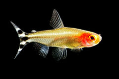 Rummy-nose tetra. Small Rummynose tetra (Hemigrammus bleheri) in freshwater aquarium. Isolated in black background Stock Images
