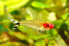 Rummynose Tetra fish Stock Photo