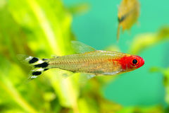 Rummynose Tetra fish Royalty Free Stock Images
