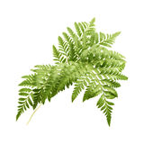 Rumohra adiantiformis, leatherleaf fern Stock Images