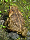 Rump o' Toad Skin  Royalty Free Stock Photo