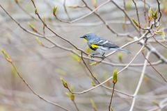 rumped желтый цвет warbler Стоковые Фото