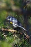 rumped желтый цвет warbler Стоковое фото RF