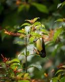 Rumped púrpura Sunbird Fotografía de archivo libre de regalías
