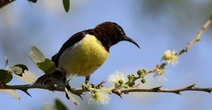 Rumped roxo Sunbird fotografia de stock royalty free