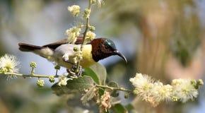 Rumped roxo Sunbird fotos de stock royalty free
