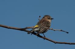 rumped warbler żółty Fotografia Royalty Free
