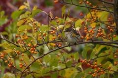 rumped warbler żółty Zdjęcie Royalty Free