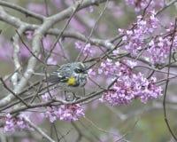 rumped warbler żółty Obraz Stock