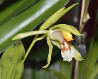 Rumphius' Coelogyne Orchid Royalty Free Stock Photography
