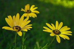 Rumuński dziki żółty wieś kwiat Zdjęcie Stock