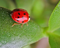 On the run. Ladybug taking a stroll Royalty Free Stock Images