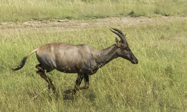 Run of Antelope Topi Stock Photography