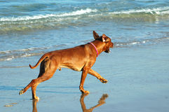 Run away dog Stock Images
