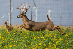 Run away. Whitetail buck running away through a field of flowers Stock Images