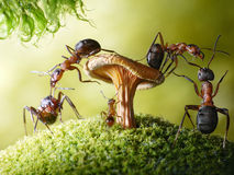 Run, baby! robbers formica and myrmica, ant tales. Run, baby! forest robbers formica rufa and baby myrmica admiring mushroom, ant tales royalty free stock photo