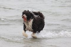 Run with the Ball. A dog playing with a ball in the ocean Stock Photo