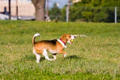 Run Beagle Catch Stock Photography
