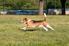 Run Beagle Run!. Classic Beagle doing what Beagles do best - run, run, run Stock Image
