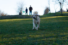 Running Dog!. A labradol puppy to people to get some cuddles Royalty Free Stock Images