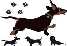 Run dachshund Stock Photography