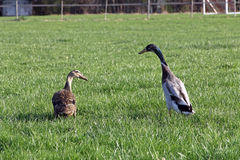 A run duck`s pair on a meadow Stock Photography