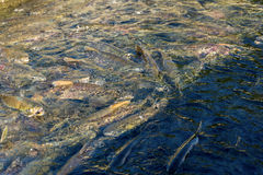 Run of many salmon for spawning in river if Sakhalind Stock Photos