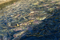 Run of many salmon for spawning in river if Sakhalind Stock Photo