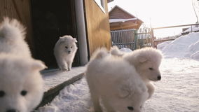 Run out of the house Samoyed puppies. In winter, the house ran out Samoyed puppies Slow motion stock video