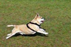 Run Pepe Run. Dog, Pepe, running across the grass, full stretch Royalty Free Stock Photo