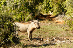 Run - Phacochoerus africanus The common warthog. Run - Phacochoerus africanus - The common warthog is a wild member of the pig family found in grassland, savanna stock images