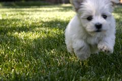 Run Puppy, Run!. Running Puppy looking for adventure Royalty Free Stock Images