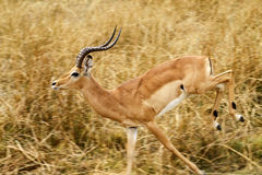 Run For your life !!. A big Male Impala Ram leaping Royalty Free Stock Photo