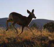 Runaway deer Stock Images