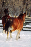Runaway horses. Galloping clydesdales royalty free stock images