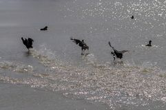 Runaway waterfowl  birds and drops of water on the seashore stock photo