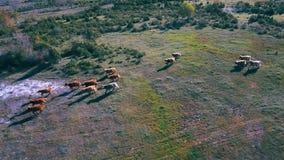 Rund en koeien die op landschap lopen stock videobeelden