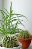 Rund grön kaktus Arkivfoto
