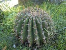 rund kaktus Arkivfoton