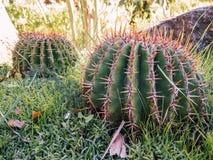 Rund kaktus i en trädgård Arkivbilder