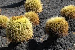 Rund suckulent växt Arkivbilder