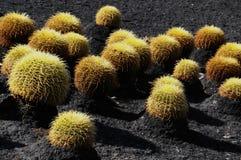 Rund suckulent växt Arkivfoton