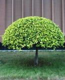 rund tree Arkivbild