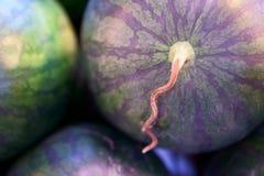 Rund vattenmelon och slätt slut för hud för variationsgräsplanfärg upp vattenmelon för runda för hud för fotomooth den gröna royaltyfria bilder