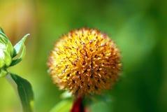 rund yellow för blomma arkivfoto