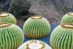 Runda cacutsväxter i trädgård Royaltyfri Bild