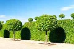 Runda formade topiarygräsplanträd i Rundale den kungliga dekorativa garen royaltyfri bild